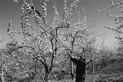 梨树春季病虫综合防治技术措施