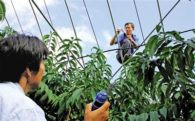 """水肥一体化灌溉施肥,实现水分与养分的综合协调和一体化管理 """"南汇水蜜桃""""种植试水""""科技棚栽""""新技术 - 平阴玫瑰甲天下 - 我心永恒博客乐园 平阴玫瑰甲天下"""