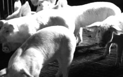 何有效控制猪场寄生虫病图片